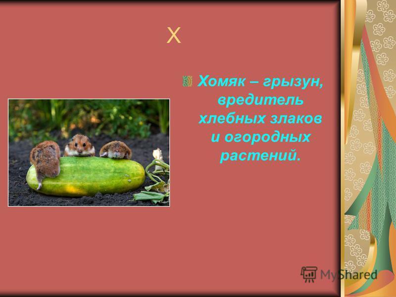 Х Хомяк – грызун, вредитель хлебных злаков и огородных растений.
