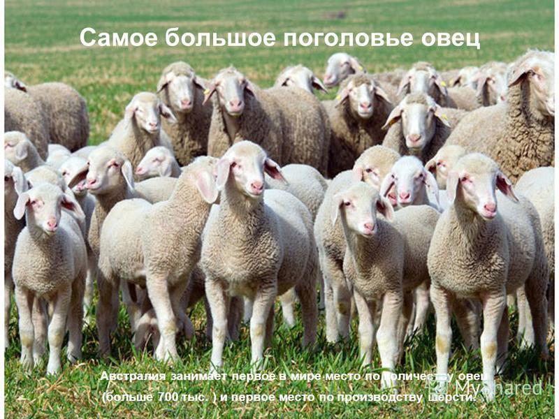Самое большое поголовье овец Австралия занимает первое в мире место по количеству овец (больше 700 тыс. ) и первое место по производству шерсти.