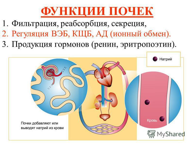 ФУНКЦИИ ПОЧЕК 1.Фильтрация, реабсорбция, секреция, 2. Регуляция ВЭБ, КЩБ, АД (ионный обмен). 3. Продукция гормонов (ренин, эритропоэтин).