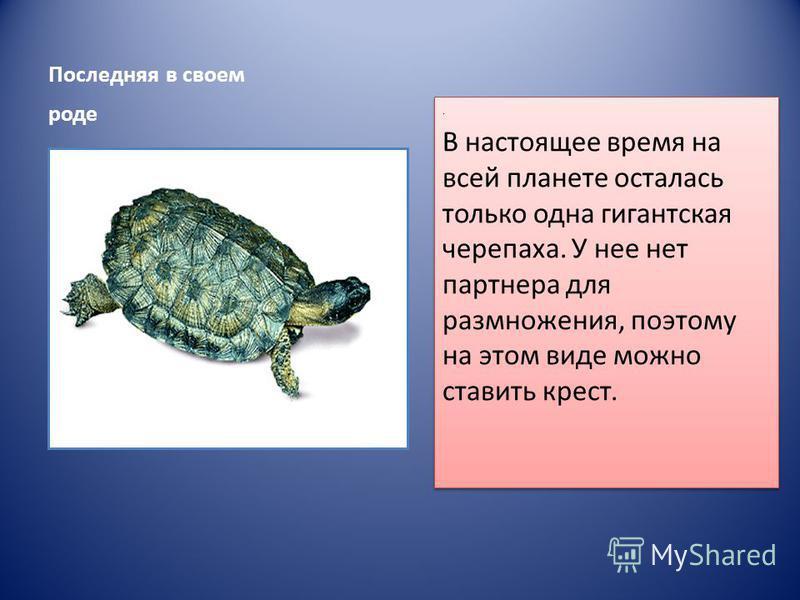 Последняя в своем роде. В настоящее время на всей планете осталась только одна гигантская черепаха. У нее нет партнера для размножения, поэтому на этом виде можно ставить крест.