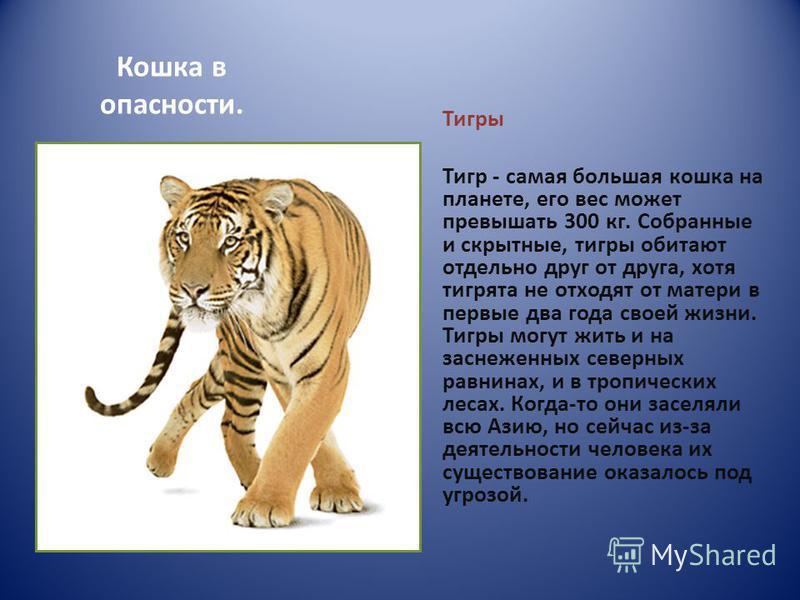 Кошка в опасности. Тигры Тигр - самая большая кошка на планете, его вес может превышать 300 кг. Собранные и скрытные, тигры обитают отдельно друг от друга, хотя тигрята не отходят от матери в первые два года своей жизни. Тигры могут жить и на заснеже