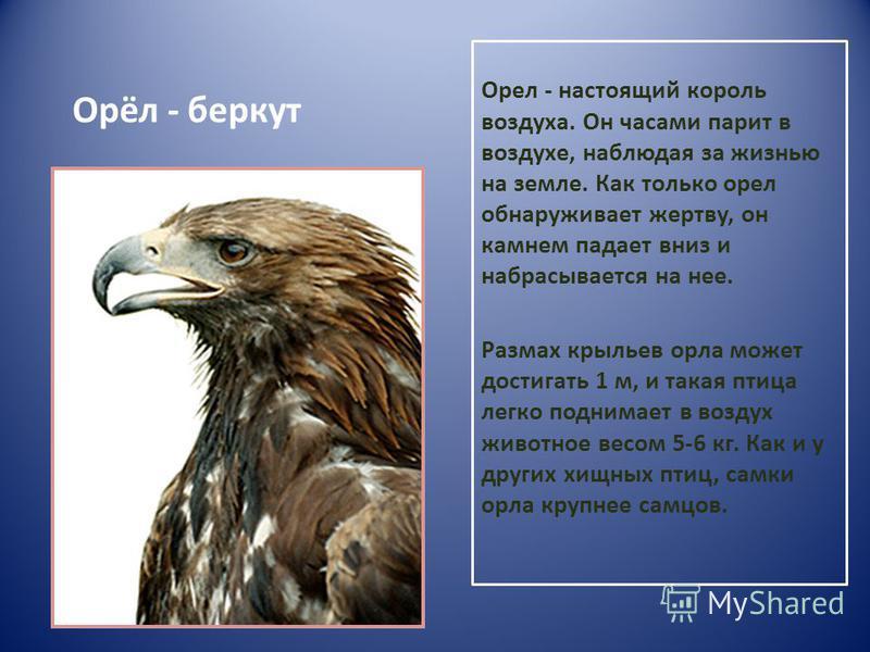 Орёл - беркут Орел - настоящий король воздуха. Он часами парит в воздухе, наблюдая за жизнью на земле. Как только орел обнаруживает жертву, он камнем падает вниз и набрасывается на нее. Размах крыльев орла может достигать 1 м, и такая птица легко под