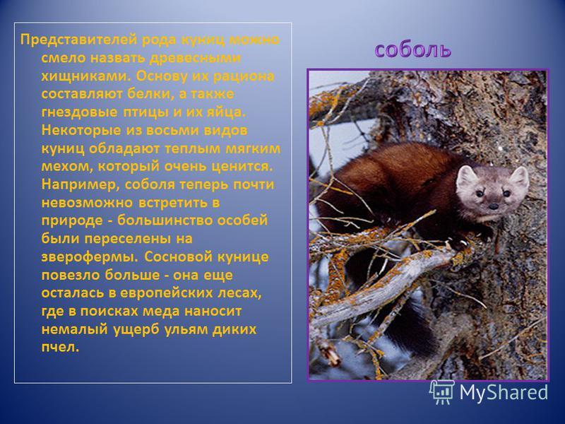 Представителей рода куниц можно смело назвать древесными хищниками. Основу их рациона составляют белки, а также гнездовые птицы и их яйца. Некоторые из восьми видов куниц обладают теплым мягким мехом, который очень ценится. Например, соболя теперь по
