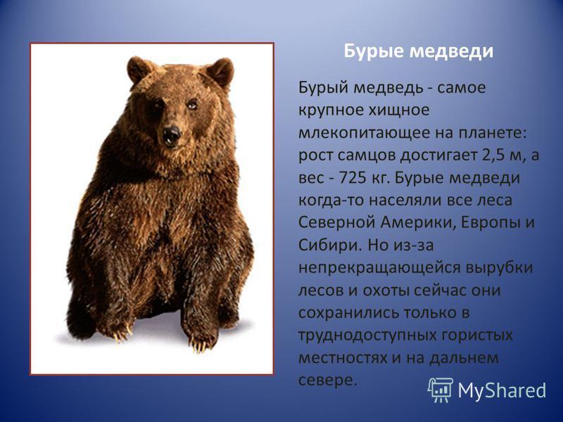 Бурые медведи Бурый медведь - самое крупное хищное млекопитающее на планете: рост самцов достигает 2,5 м, а вес - 725 кг. Бурые медведи когда-то населяли все леса Северной Америки, Европы и Сибири. Но из-за непрекращающейся вырубки лесов и охоты сейч