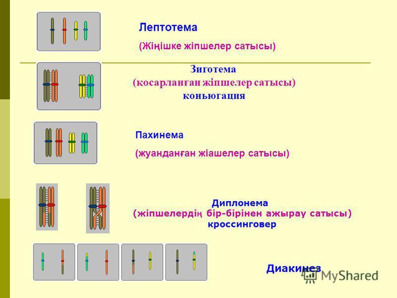 Лептотема (Жіңішке жіпшелер сатысы) Пахинема (жуанданған жіашелер сатысы) Зиготема (қосарланған жіпшелер сатысы) коньюгация Диплонема (жіпшелерді ң бір-бірінен ажырау сатысы) кроссинговер Диакинез