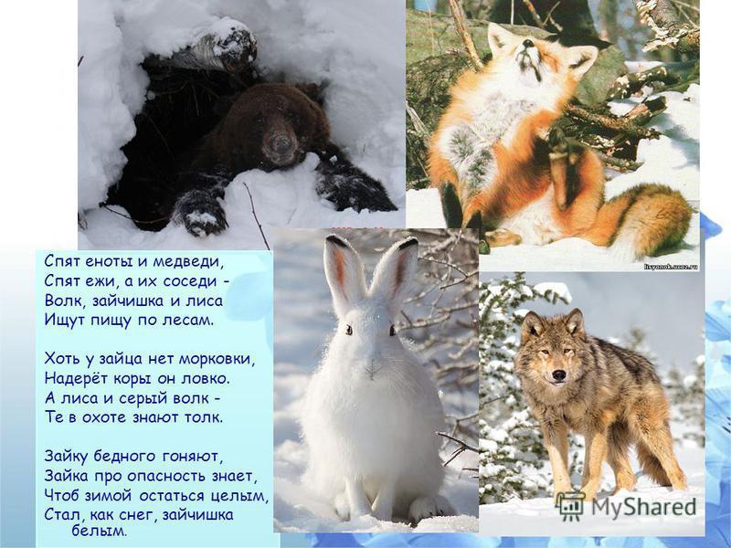 Спят еноты и медведи, Спят ежи, а их соседи - Волк, зайчишка и лиса Ищут пищу по лесам. Хоть у зайца нет морковки, Надерёт коры он ловко. А лиса и серый волк - Те в охоте знают толк. Зайку бедного гоняют, Зайка про опасность знает, Чтоб зимой остатьс