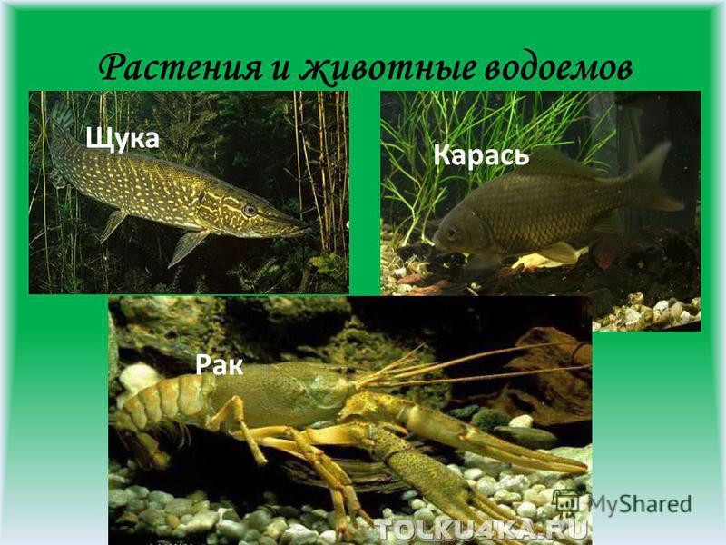 Растения и животные водоемов Щука Карась Рак