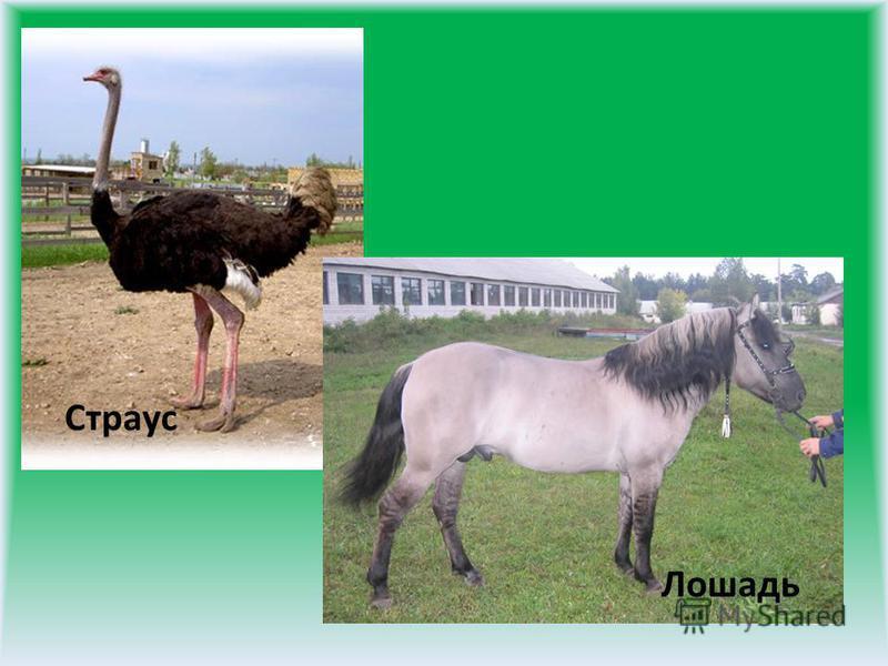 Страус Лошадь