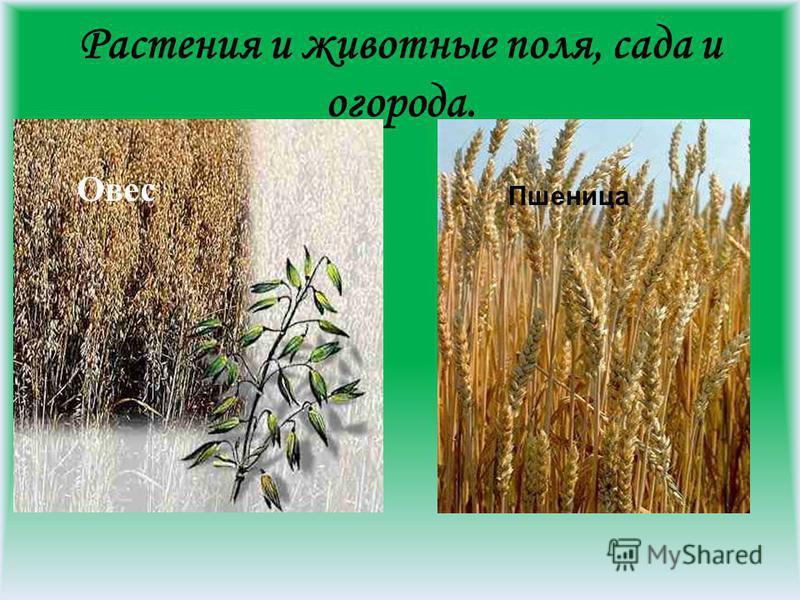 Растения и животные поля, сада и огорода. Овес Пшеница