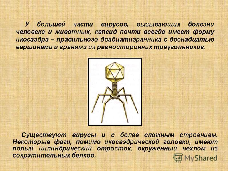 Существуют вирусы и с более сложным строением. Некоторые фаги, помимо икосаэдрической головки, имеют полый цилиндрический отросток, окруженный чехлом из сократительных белков. У большей части вирусов, вызывающих болезни человека и животных, капсид по