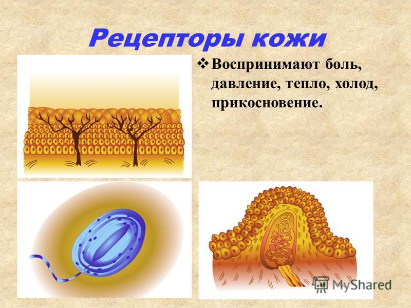 Рецепторы кожи Воспринимают боль, давление, тепло, холод, прикосновение.