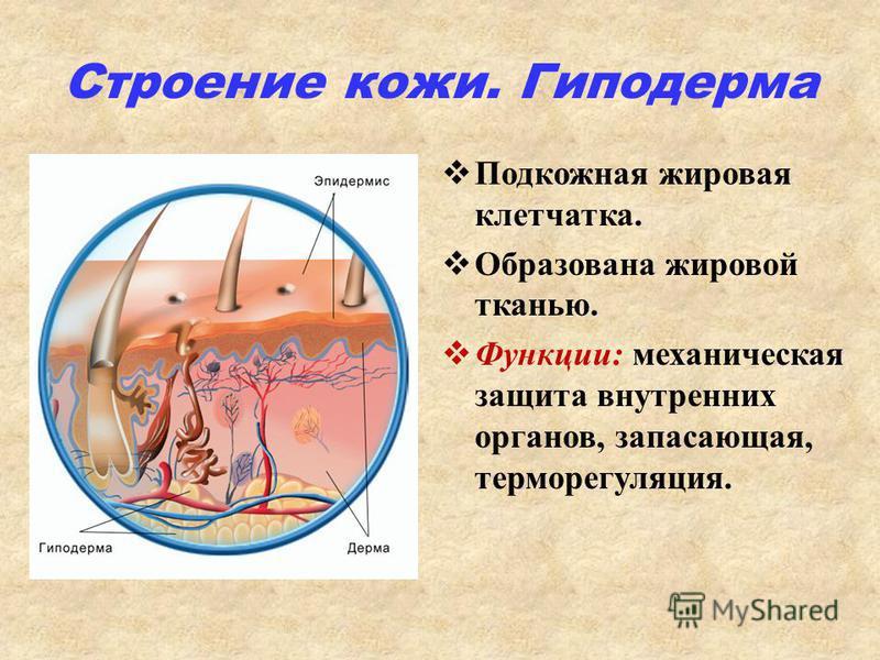 Строение кожи. Гиподерма Подкожная жировая клетчатка. Образована жировой тканью. Функции: механическая защита внутренних органов, запасающая, терморегуляция.