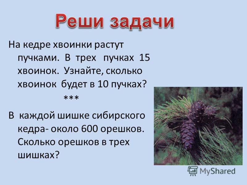 На кедре хвоинки растут пучками. В трех пучках 15 хвоинок. Узнайте, сколько хвоинок будет в 10 пучках? *** В каждой шишке сибирского кедра- около 600 орешков. Сколько орешков в трех шишках?