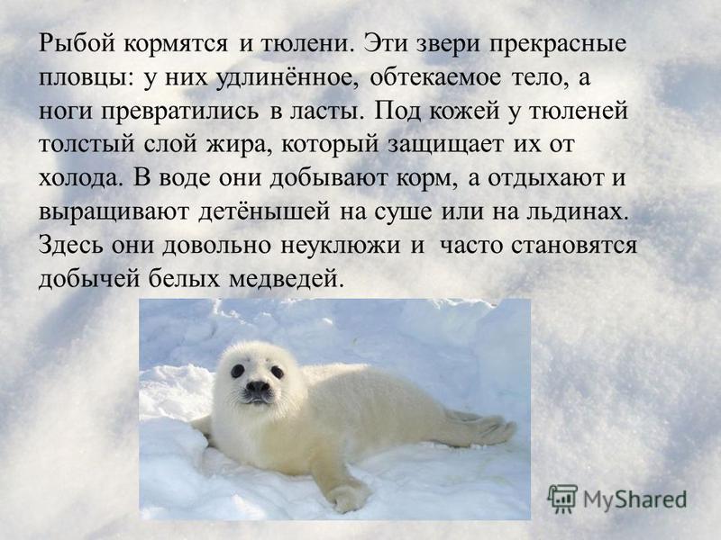 Рыбой кормятся и тюлени. Эти звери прекрасные пловцы : у них удлинённое, обтекаемое тело, а ноги превратились в ласты. Под кожей у тюленей толстый слой жира, который защищает их от холода. В воде они добывают корм, а отдыхают и выращивают детёнышей н