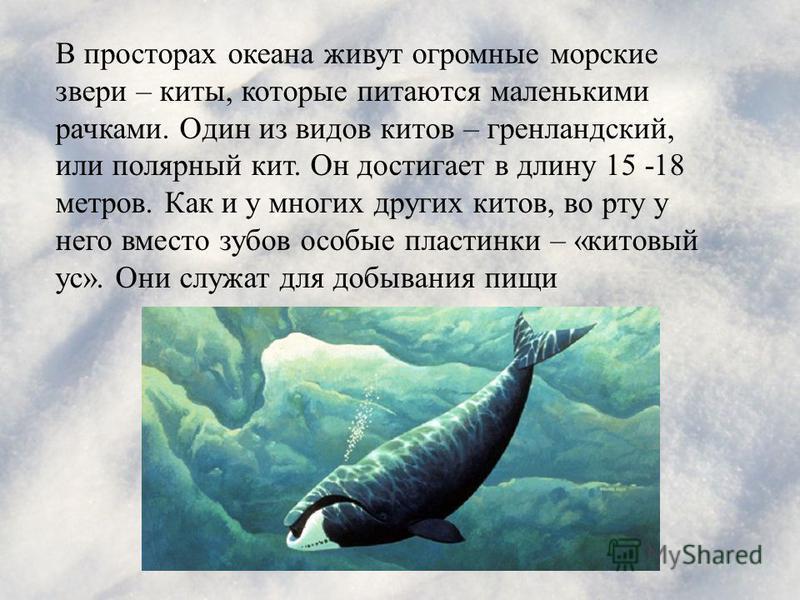 В просторах океана живут огромные морские звери – киты, которые питаются маленькими рачками. Один из видов китов – гренландский, или полярный кит. Он достигает в длину 15 -18 метров. Как и у многих других китов, во рту у него вместо зубов особые плас