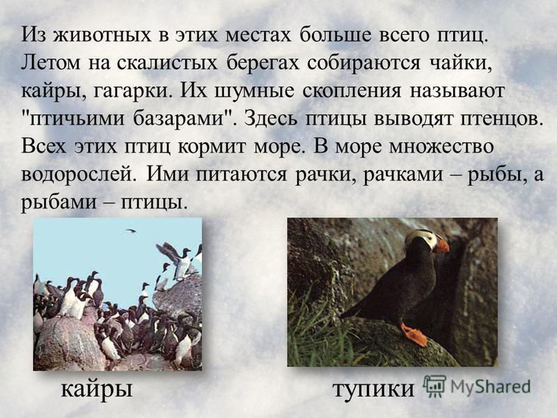 тупикикайры Из животных в этих местах больше всего птиц. Летом на скалистых берегах собираются чайки, кайры, гагарки. Их шумные скопления называют