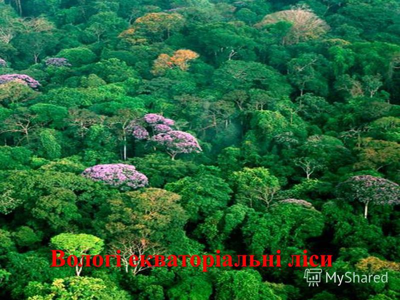Вологі екваторіальні ліси Вологі екваторіальні ліси