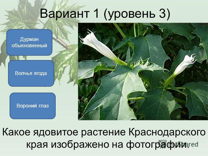 Вариант 1 (уровень 3) Какое ядовитое растение Краснодарского края изображено на фотографии. Вороний глаз Дурман обыкновенный Волчья ягода