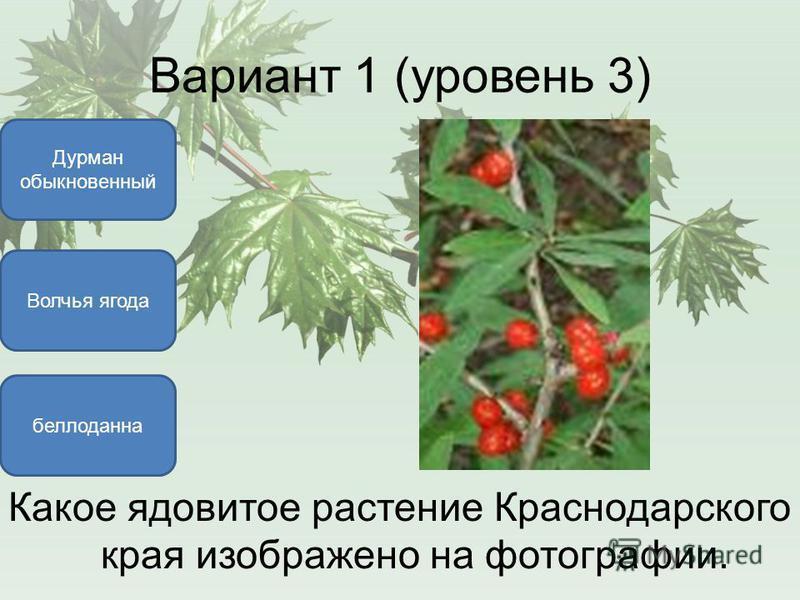 Вариант 1 (уровень 3) Волчья ягода Дурман обыкновенный белладонна Какое ядовитое растение Краснодарского края изображено на фотографии.