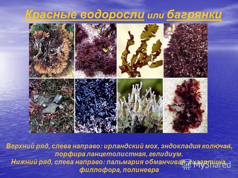 Красные водоросли или багрянки Верхний ряд, слева направо: ирландский мох, эндокладия колючая, порфира ланцетолистная, гелидиум. Нижний ряд, слева направо: пальмария обманчивая, гигартина, филлофора, полиневра