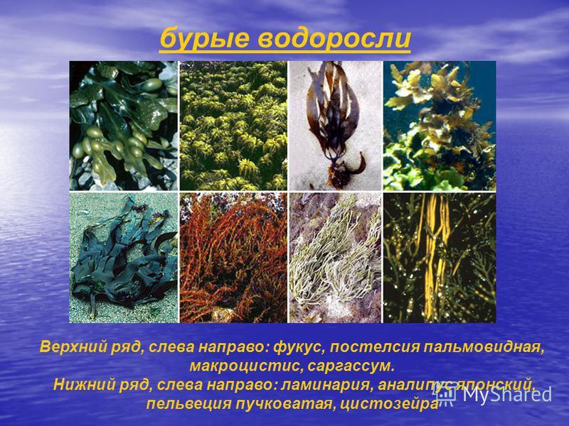 бурые водоросли Верхний ряд, слева направо: фукус, постелсия пальмовидная, макроцистис, саргассум. Нижний ряд, слева направо: ламинария, аналипус японский, пельвеция пучковатая, цистозейра