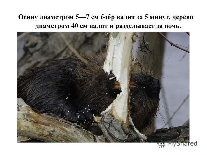 Осину диаметром 57 см бобр валит за 5 минут, дерево диаметром 40 см валит и разделывает за ночь.