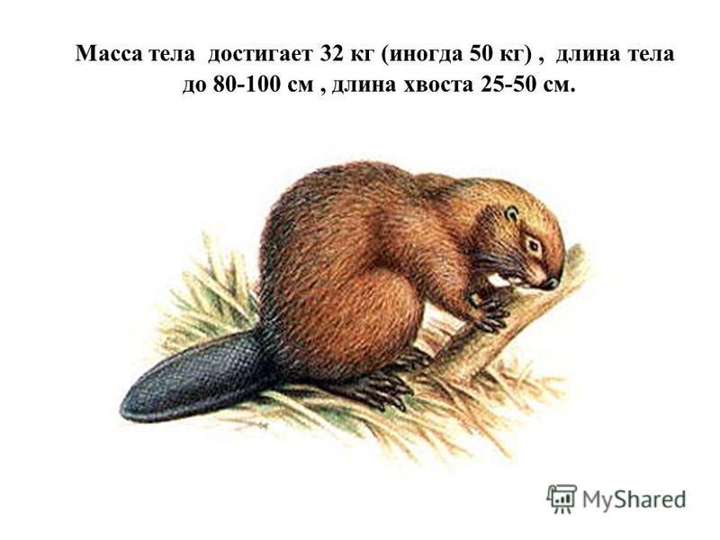 Масса тела достигает 32 кг (иногда 50 кг), длина тела до 80-100 см, длина хвоста 25-50 см.