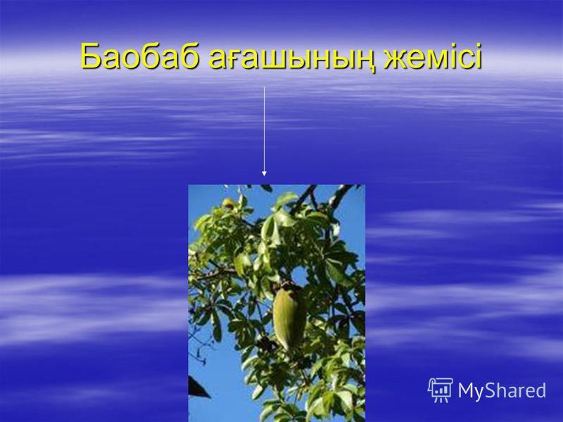 Баобаб ағашының жемісі