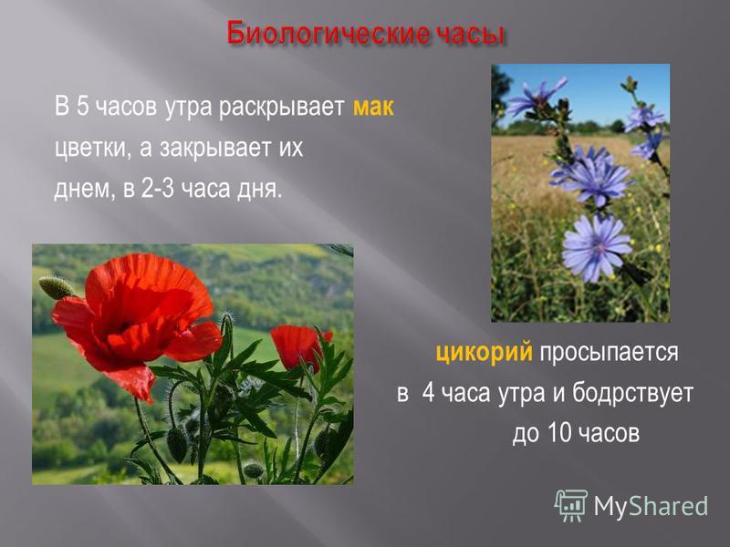 В 5 часов утра раскрывает мак цветки, а закрывает их днем, в 2-3 часа дня. цикорий просыпается в 4 часа утра и бодрствует до 10 часов