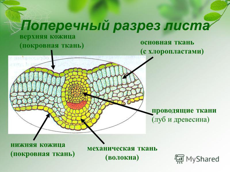 нижняя кожица (покровная ткань) верхняя кожица (покровная ткань) основная ткань (с хлоропластами) механическая ткань (волокна) проводящие ткани (луб и древесина) Поперечный разрез листа