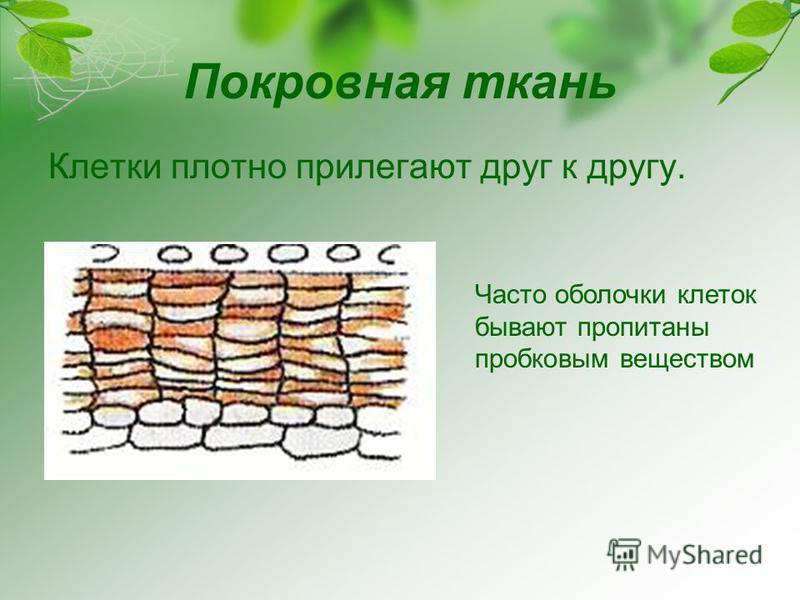 Покровная ткань Клетки плотно прилегают друг к другу. Часто оболочки клеток бывают пропитаны пробковым веществом