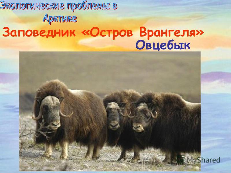 Заповедник «Остров Врангеля» Овцебык