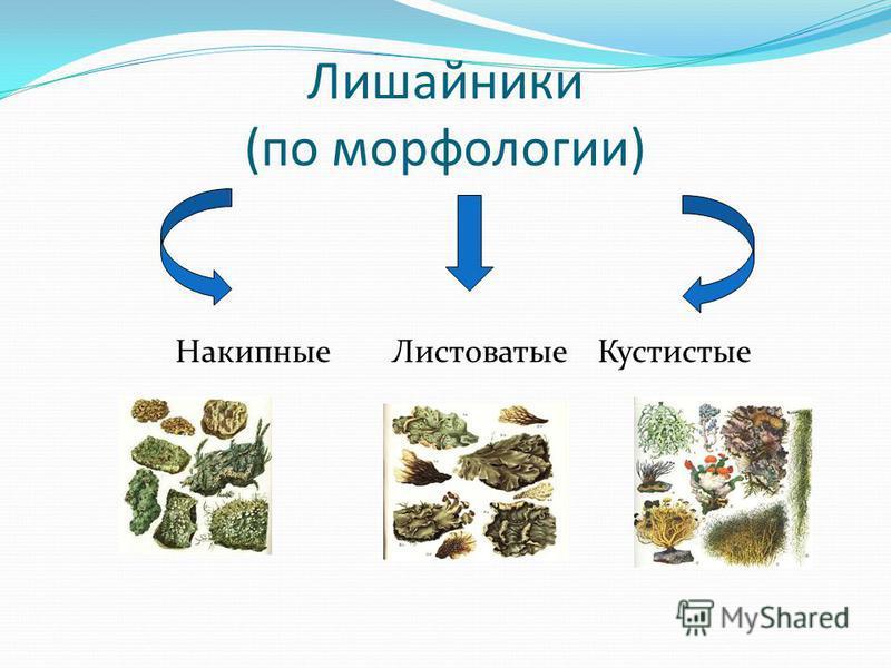 Лишайники Лишайники – симбиотические организмы, которые состоят из грибной и растительной части. Растительная часть представлена водорослью, которая поставляет органические вещества Грибной компонент поставляет воду и минеральные вещества, а также не