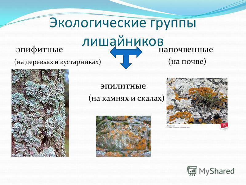 Лишайники (по анатомии) Гомомерные: слоевище – рыхлое сплетение гриба, среди которых равномерно располагаются клетки водорослей. Гетеромерные: в слоевище есть дифференцированные слои, выполняющие определенную функцию.