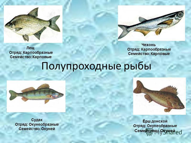 Полупроходные рыбы Судак Отряд: Окунеобразные Семейство: Окуней Чехонь Отряд: Карпообразные Семейство: Карповые Лещ Отряд: Карпообразные Семейство: Карповые Ёрш донской Отряд: Окунеобразные Семейство: Окуней