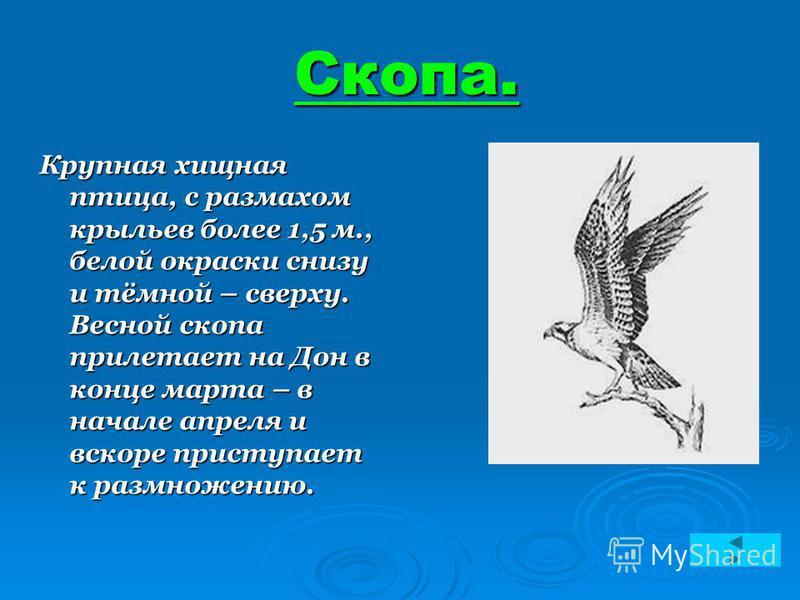 Скопа. Скопа. Крупная хищная птица, с размахом крыльев более 1,5 м., белой окраски снизу и тёмной – сверху. Весной скопа прилетает на Дон в конце марта – в начале апреля и вскоре приступает к размножению.