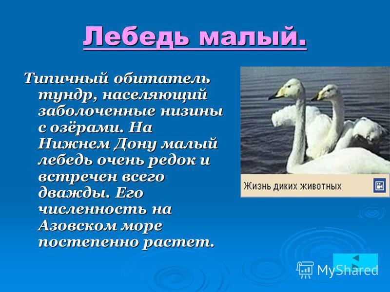 Лебедь малый. Типичный обитатель тундр, населяющий заболоченные низины с озёрами. На Нижнем Дону малый лебедь очень редок и встречен всего дважды. Его численность на Азовском море постепенно растет.