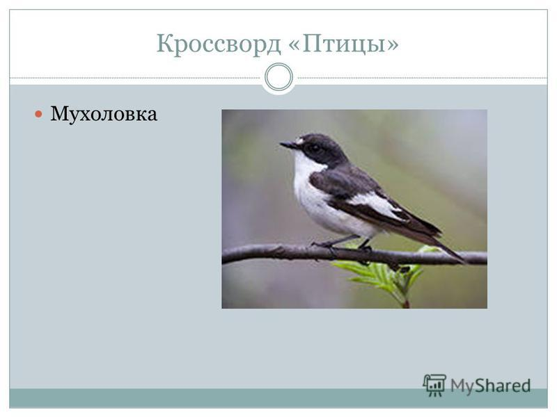 Кроссворд «Птицы» Мухоловка