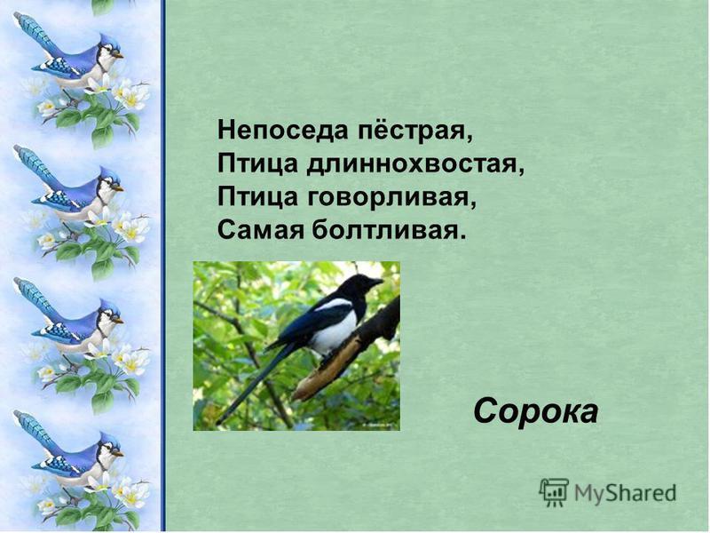Непоседа пёстрая, Птица длиннохвостая, Птица говорливая, Самая болтливая. Сорока