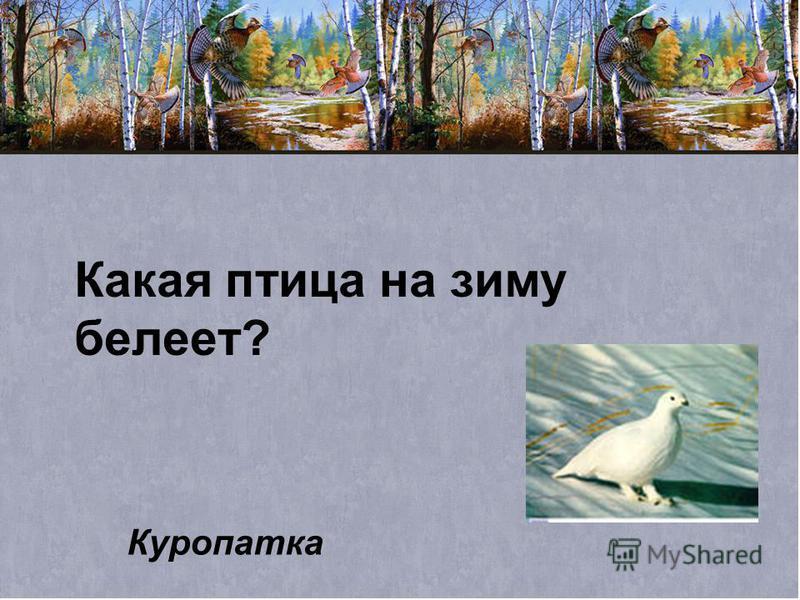 Какая птица на зиму белеет? Куропатка