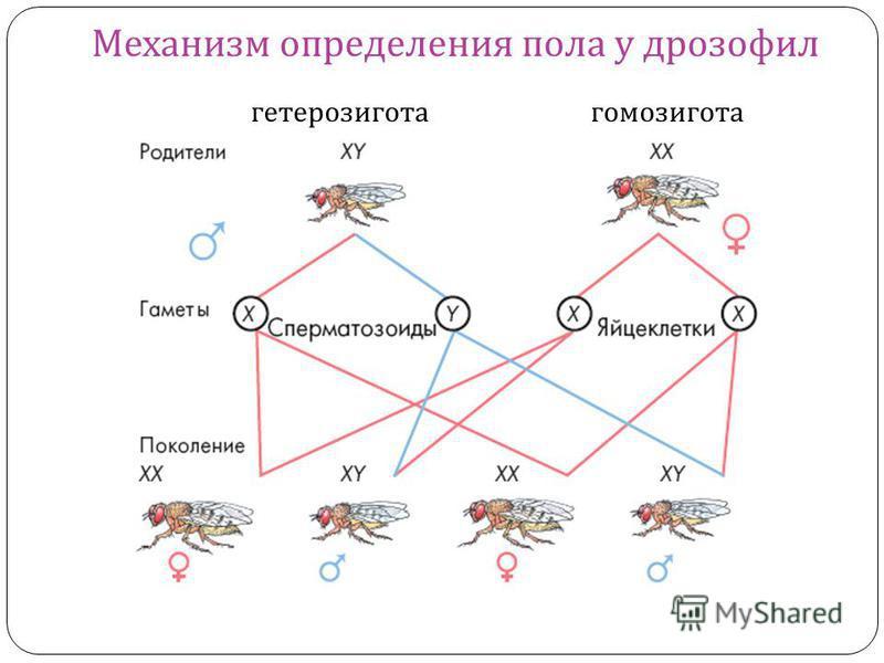 Механизм определения пола у дрозофил гетерозигота гомозигота