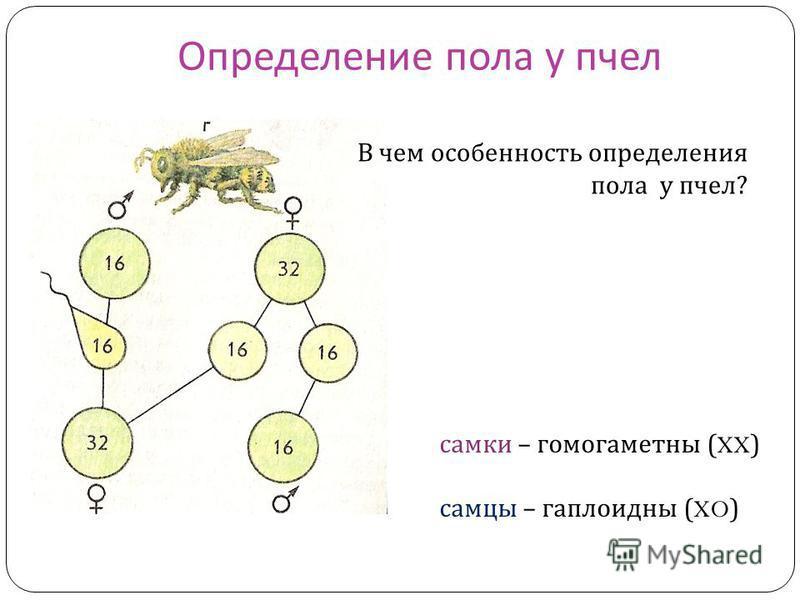 Определение пола у пчел В чем особенность определения пола у пчел ? самки – гомогаметны (XX) самцы – гаплоидны (XO)