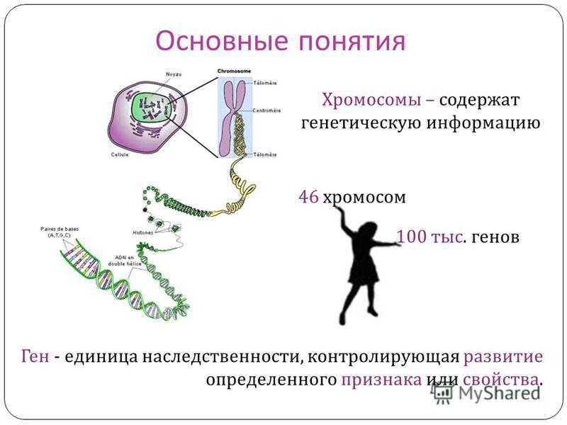 Основные понятия Ген - единица наследственности, контролирующая развитие определенного признака или свойства. Хромосомы – содержат генетическую информацию 46 хромосом 100 тыс. генов
