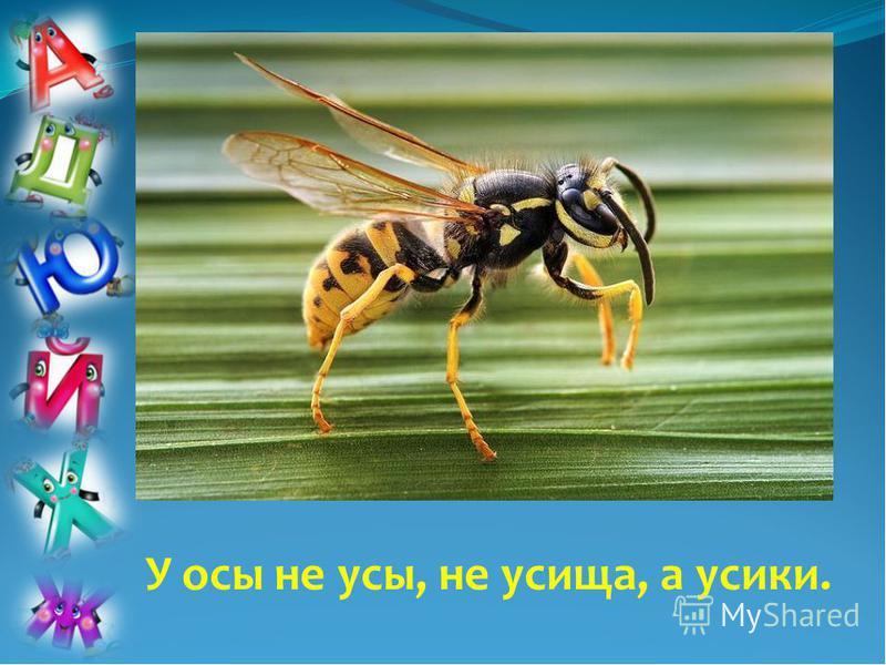 У осы не усы, не усища, а усики.