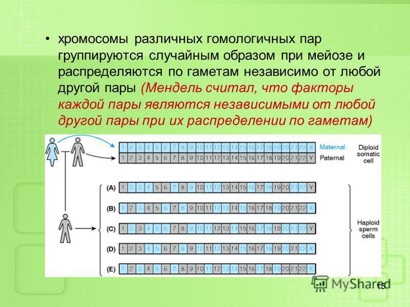 хромосомы различных гомологичных пар группируются случайным образом при мейозе и распределяются по гаметам независимо от любой другой пары (Мендель считал, что факторы каждой пары являются независимыми от любой другой пары при их распределении по гам