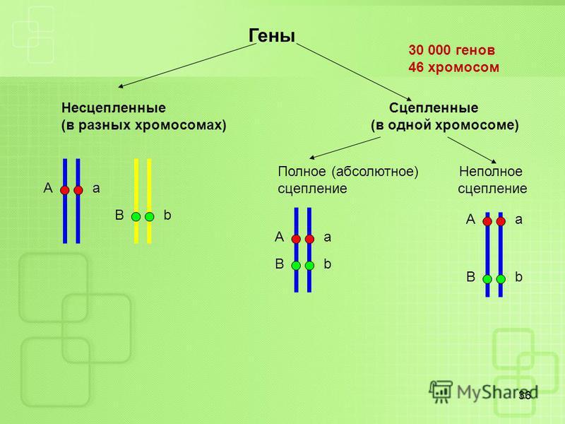 36 А a B b Гены Несцепленные Сцепленные (в разных хромосомах) (в одной хромосоме) Полное (абсолютное) Неполное сцепление А a B b А a B b 30 000 генов 46 хромосом