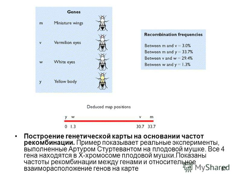 Построение генетической карты на основании частот рекомбинации. Пример показывает реальные эксперименты, выполненные Артуром Стуртевантом на плодовой мушке. Все 4 гена находятся в Х-хромосоме плодовой мушки.Показаны частоты рекомбинации между генами