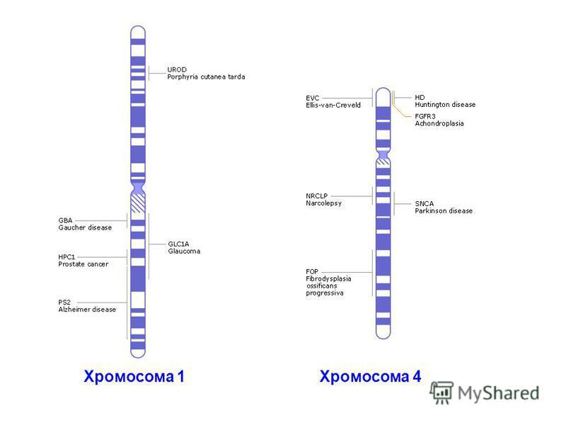 Хромосома 1 Хромосома 4