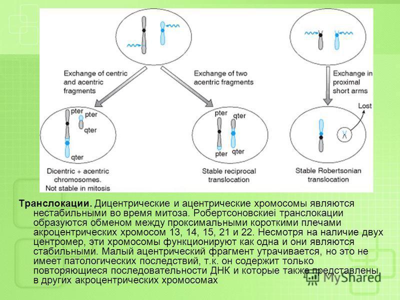 Транслокации. Дицентрические и ацентрические хромосомы являются нестабильными во время митоза. Робертсоновскиеі транслокации образуются обменом между проксимальными короткими плечами акроцентрических хромосом 13, 14, 15, 21 и 22. Несмотря на наличие