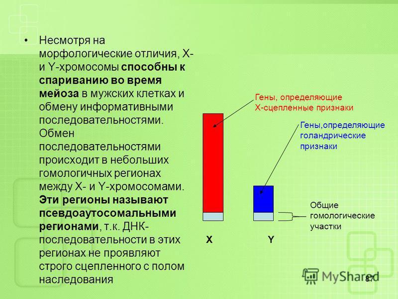 Несмотря на морфологические отличия, X- и Y-хромосомы способны к спариванию во время мейоза в мужских клетках и обмену информативными последовательностями. Обмен последовательностями происходит в небольших гомологичных регионах между X- и Y-хромосома